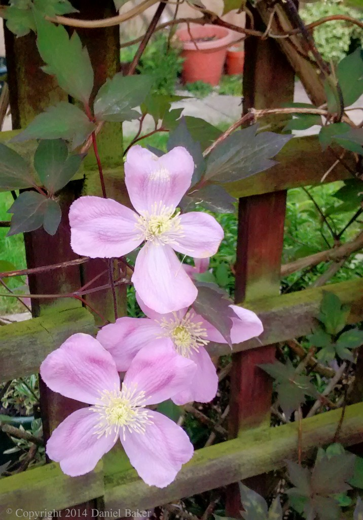 Photograph of two pink flowers on a fence with a flowerpot behind