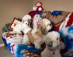 Four dogs sitting on a Christmas blanket
