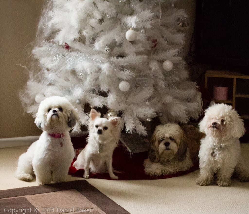 Four dogs sitting in front of a white Christmas tree