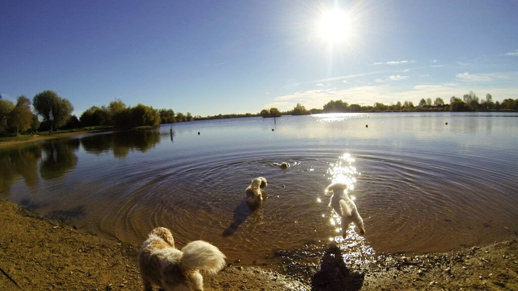 Dexter's first and only swim at Cotswold water park