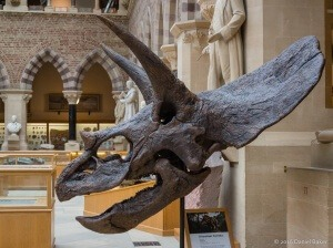 Triceratops skull at Oxford Museum of Natural History March 2016