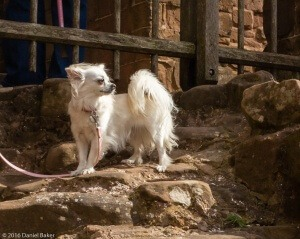 Peppa a Chihuahua at Kenilworth 2016 - Kenilworth Castle Photographs April
