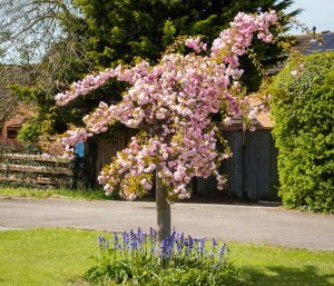 A short tree with pink blossom