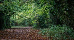 A photograph taken at Crickley hill on Daniel Baker's Birthday green trees in a wood arching over a trail covered in orange Autumn leaves