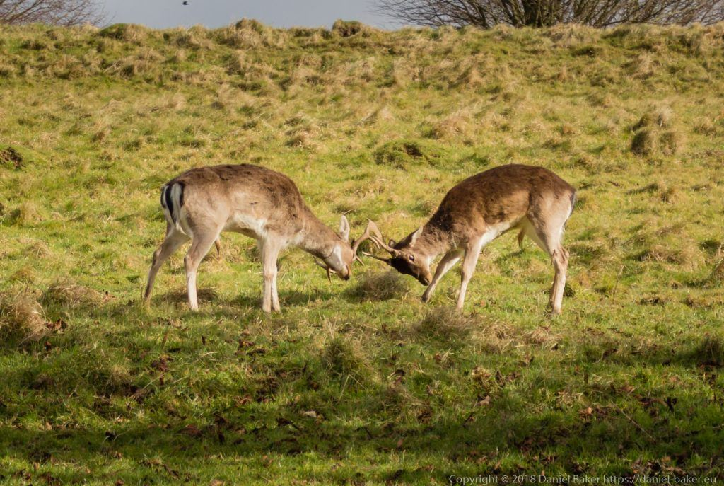 Two deer at Dyrham park rutting