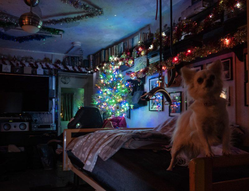 Peppa the white long haired chihuahua on a bed in a room decorated for Christmas