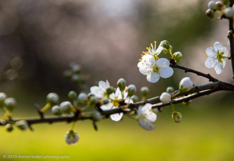 White blossom on a branch with boken background