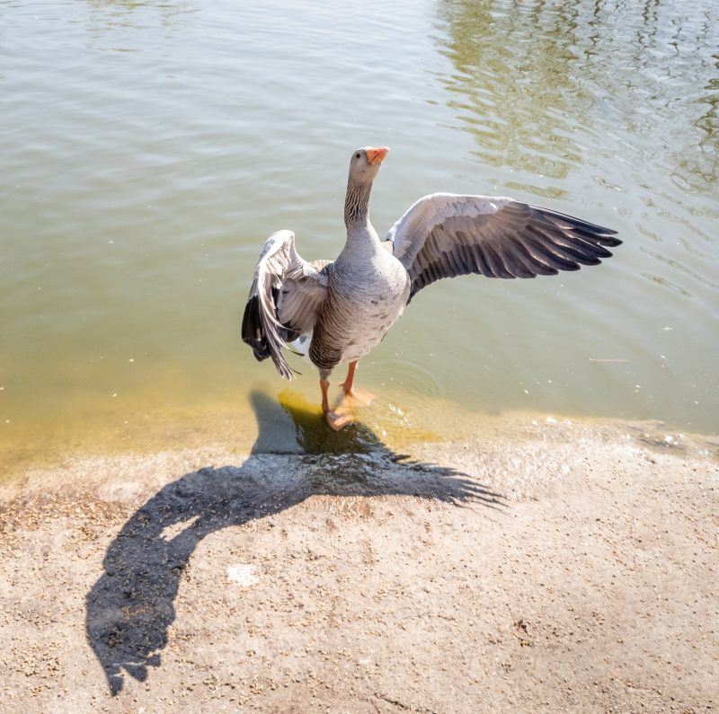 A goose flapping it's wings