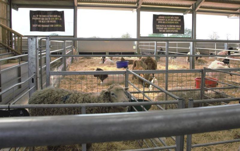 Laming Barn pens with sheep in at Cotswold Farm Park
