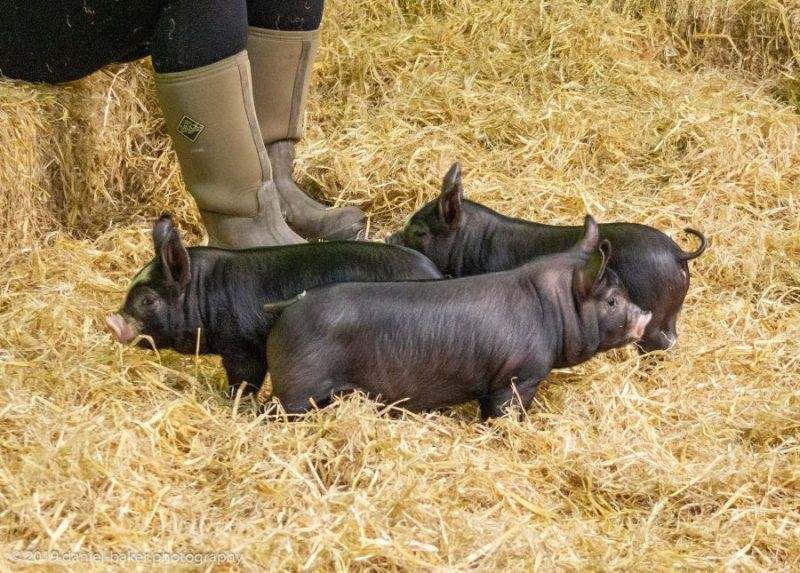 Black Piglets in hay with a person's boots near them at Cotswold Farm Park