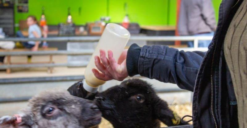carers hand holding a milk bottle with two lambs feeding from it at Cotswold Farm Park