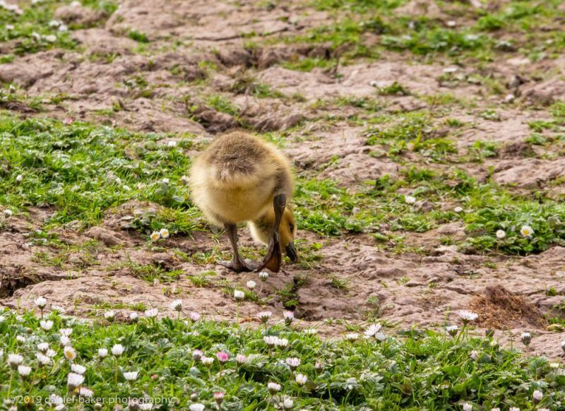 Yellow gosling among daisies