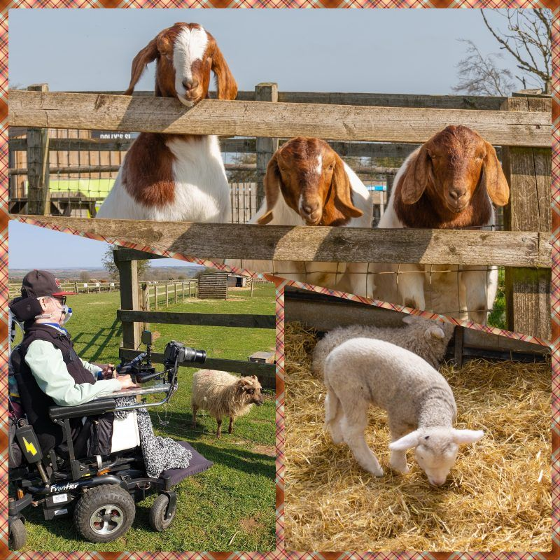collage with 3 photos on a tartan background, goats, Daniel Baker with a sheep and a lamb in a pen at Cotswold Farm Park