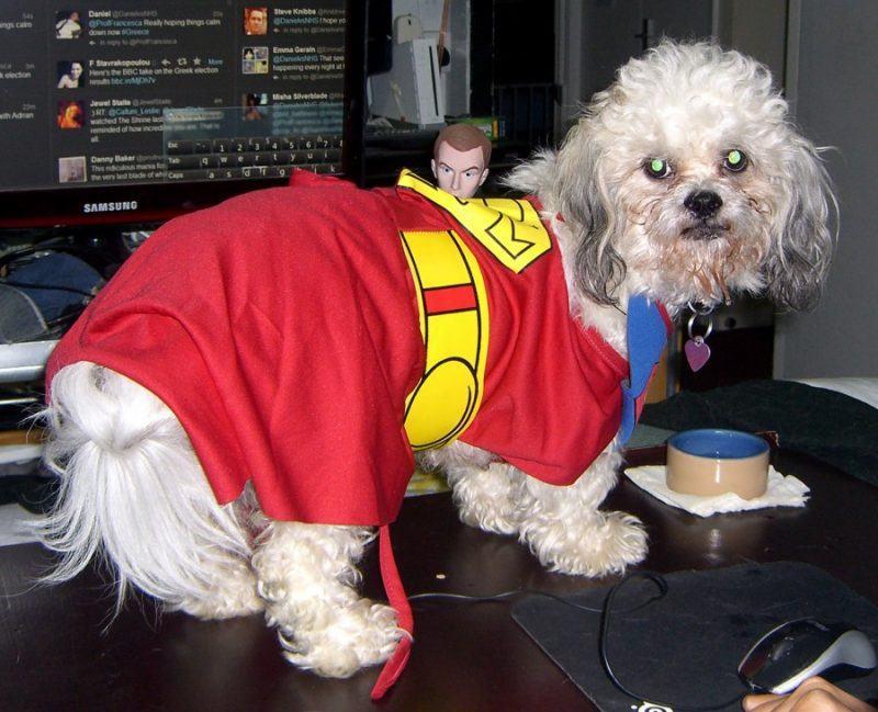 Zuchon dog named Kara wearing a Supergirl costume