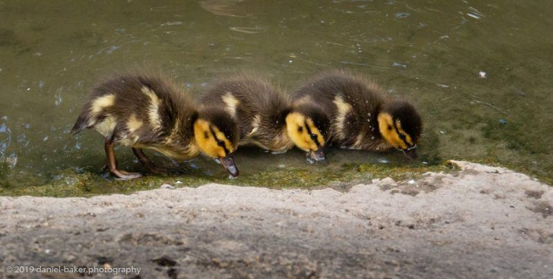 Ducklings drinking at Slimbridge