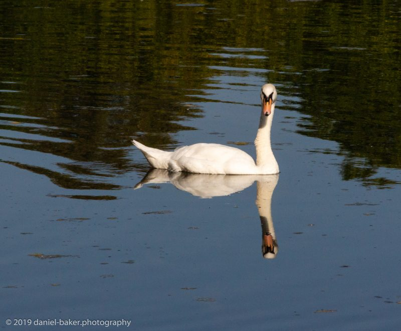 Swan on a lake with a perfect reflection