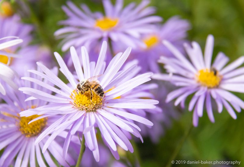 Purple flower with a bee covered in pollen sitting on it