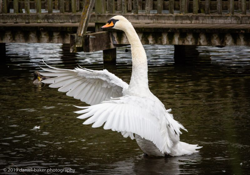 link to photo galleries are back Swan flapping