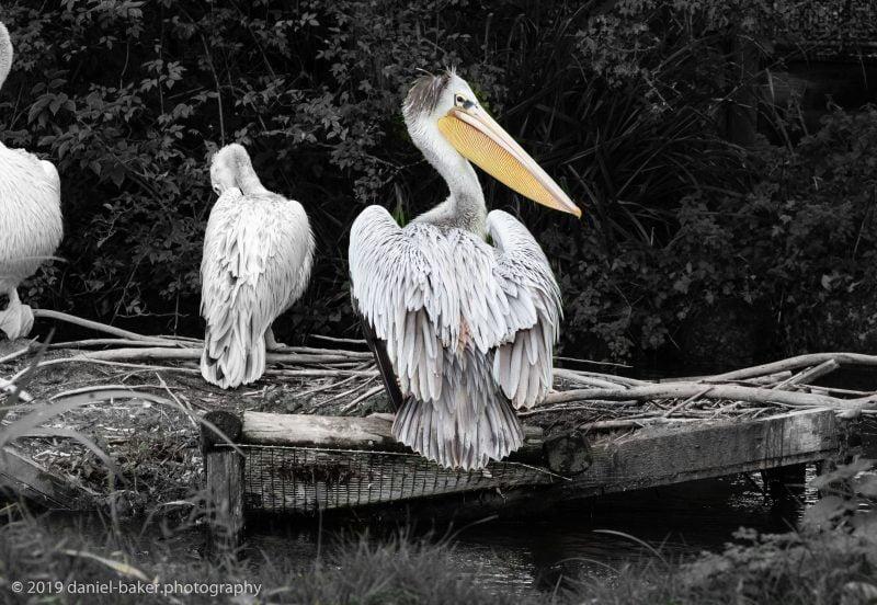 Pelican at Birdland October 2019