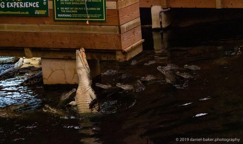 Crocodiles feeding at Crocodiles of the world 2019
