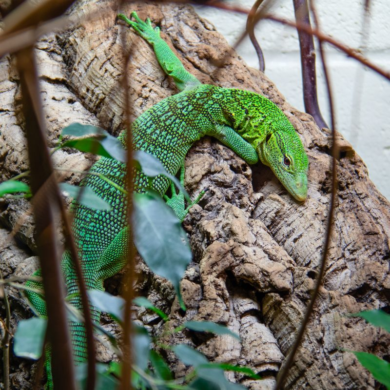 Green lizard at Crocodiles of the world 2019