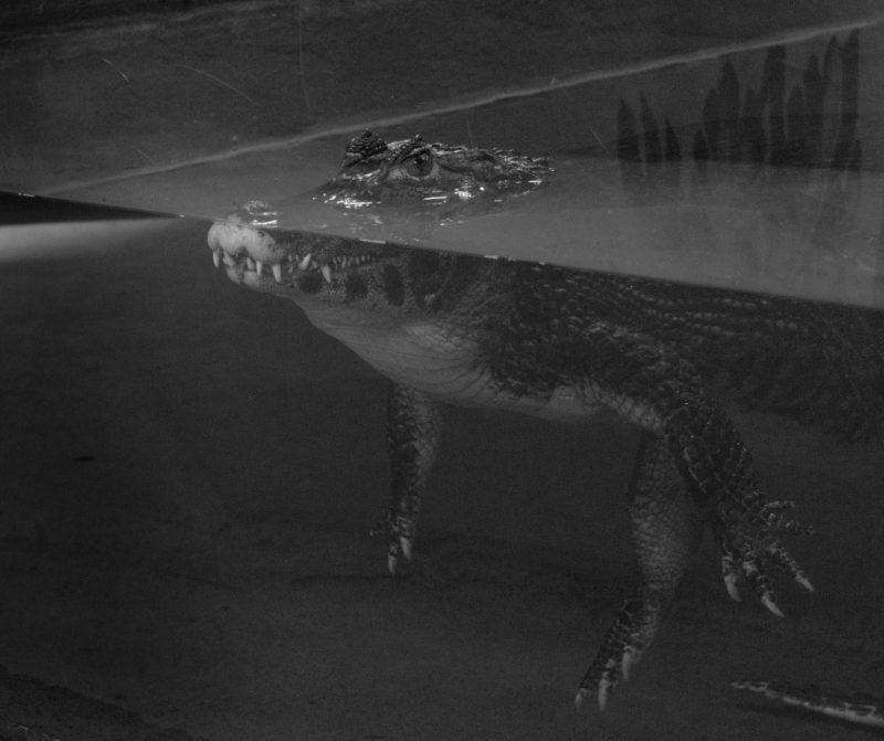 Crocodiles of the world 2019