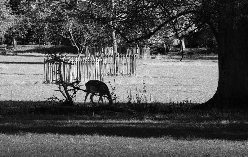 Oxford September 2019 Addison's Walk Deer
