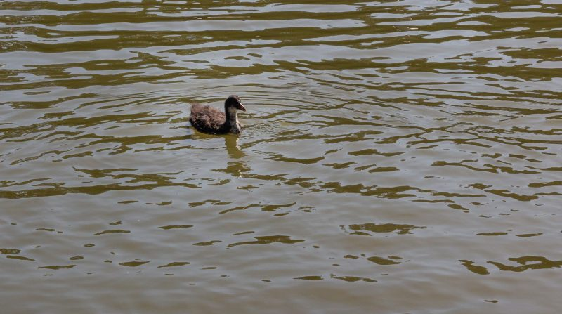 young bird on water