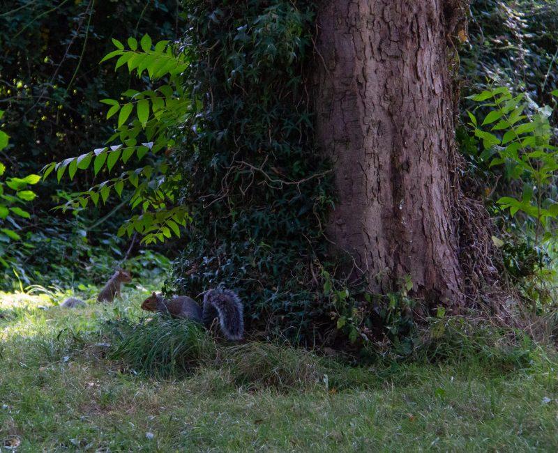 Squirrel in pittville park