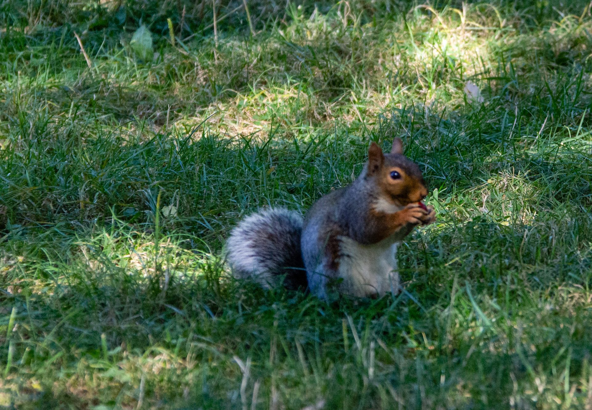 Squirrel in pittville park