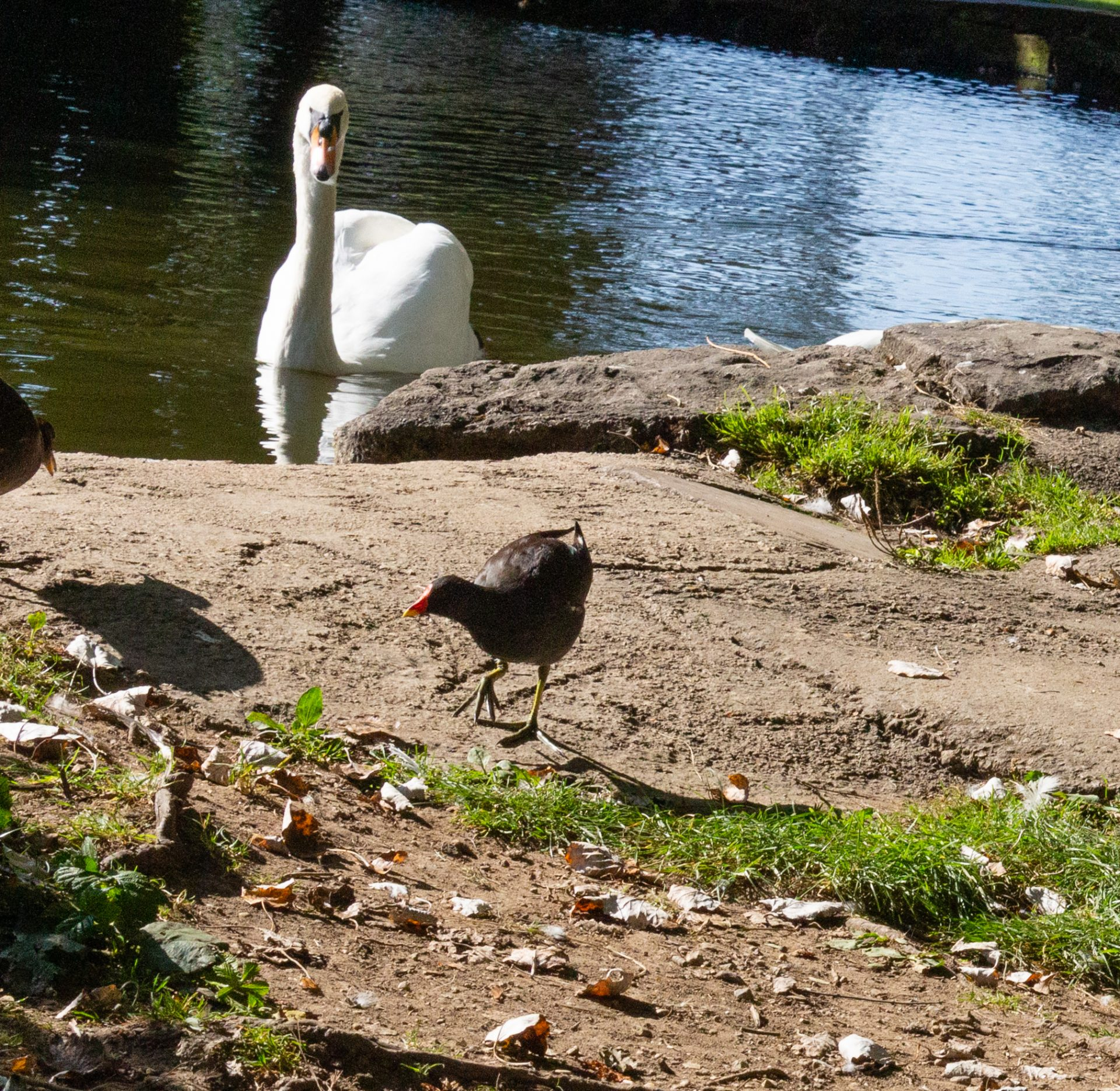 A swan in pittville park