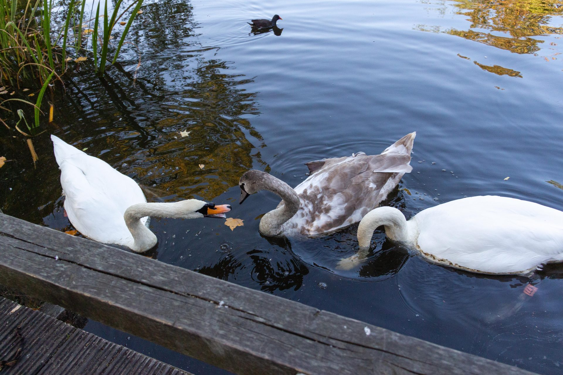 a cygnet in pittville park