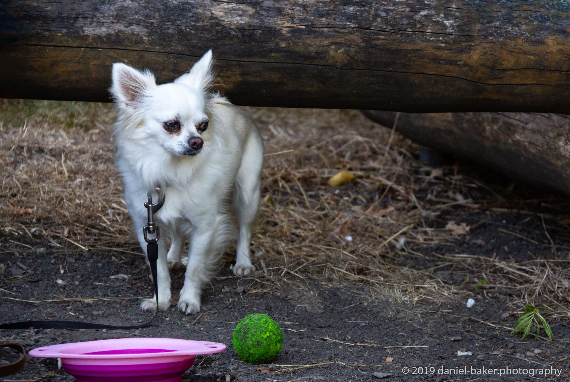 Peppa a white long haired chihuahua at Benhall park
