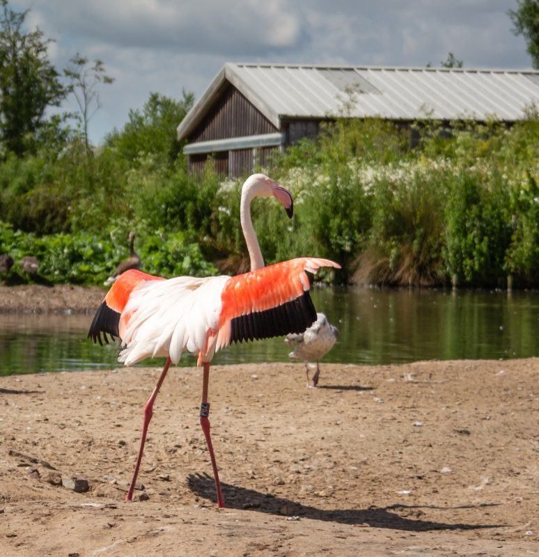Flamingos at WWT Slimbridge