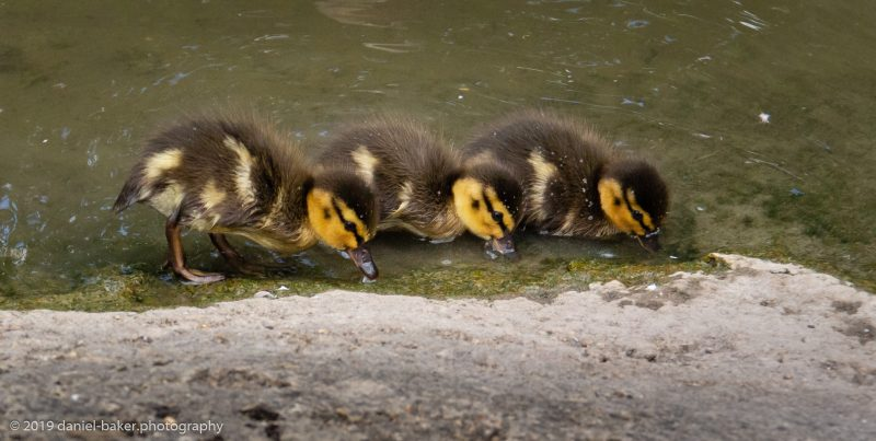 Ducklings at WWT Slimbridge