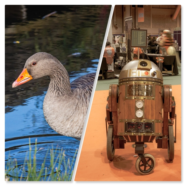 A college of Photographs from November 2019 a goose on the left and a steampunk R2-D2 on the right