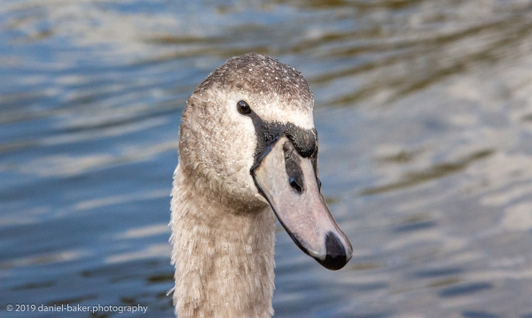 A close up of a cygnet