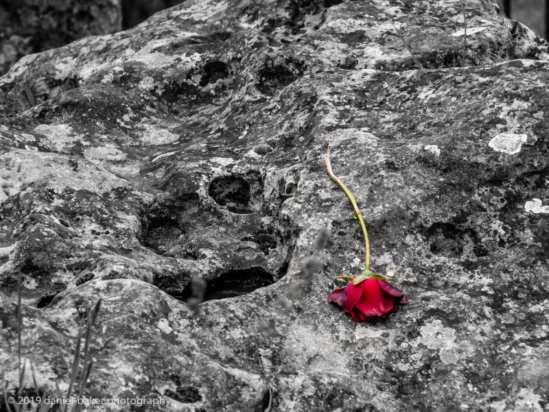 colour popped rose on a neolithic stone at the Rollright stones
