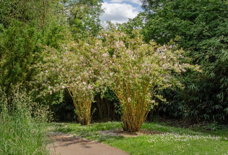 blossoming bamboo at Batsford Arboretum