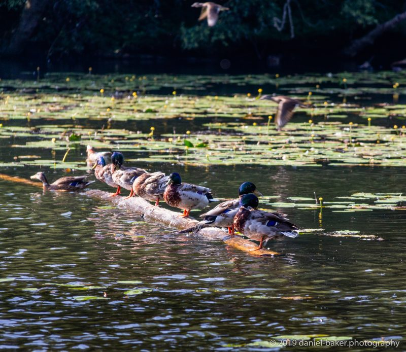 Ducks lined up on a floating branch in Black Park