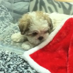 A Bichon Shi-Tzu mixed puppy with a red blanket trimmed with white fur over her