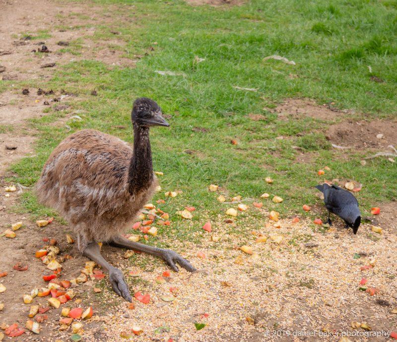 Young emus at Birdland