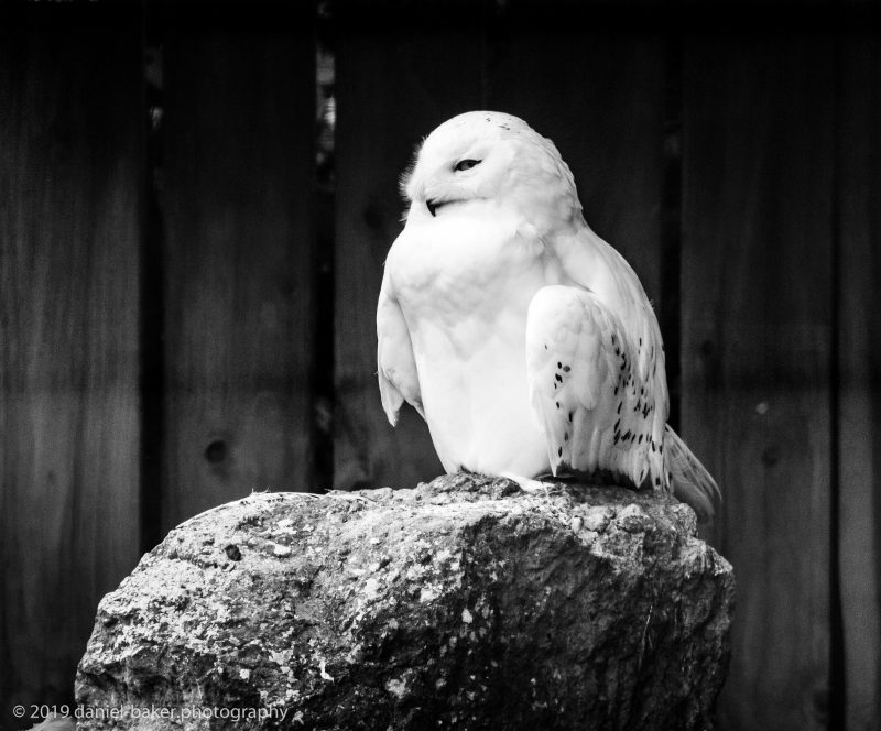 black and white portrait photo of a snowy owl at Birdland