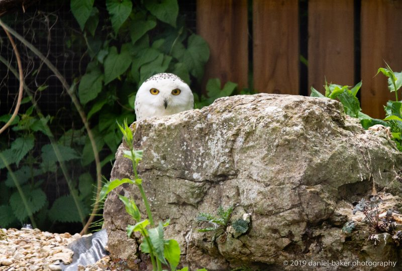 snowy owl peeking over a rock at Birdland