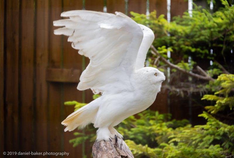 snowy owl spreading it's wings at Birdland