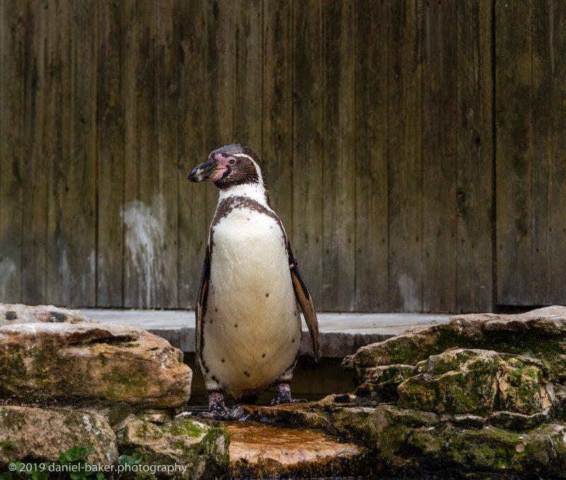 Humboldt penguin at Birdland