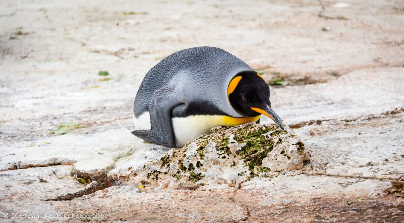 King penguin laying on it's belly at Birdland