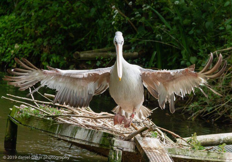 Pelicans at Birdland