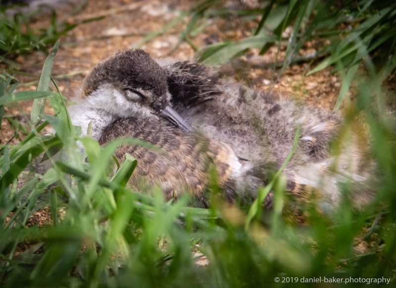 sleeping baby birds