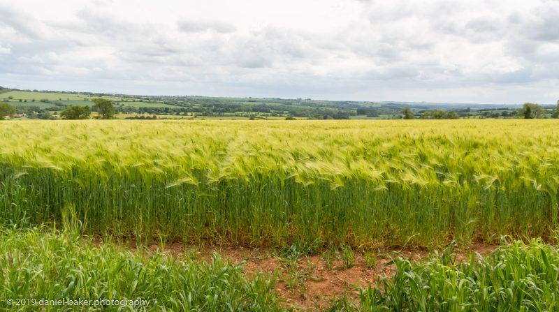 looking through a wheatfield